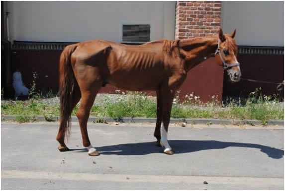 Lymphoma thin horse